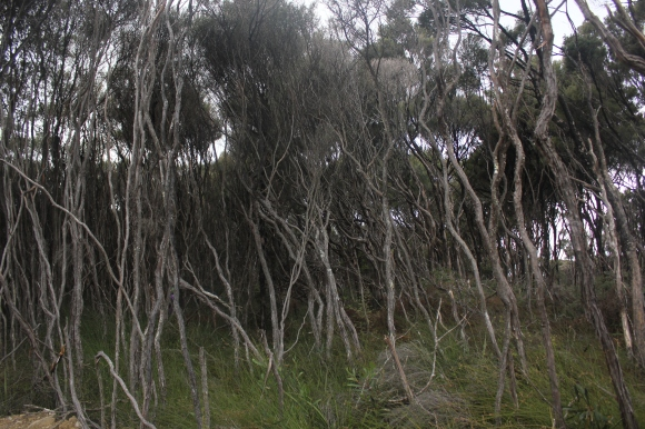 Through the manuka bush ...
